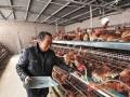蛋鸡养殖抓好细节减少饲料浪费
