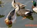 科学养鸭要加强各项管理