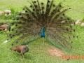 蓝孔雀人工授精