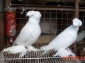 观赏鸽饲养育雏