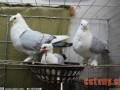 鸽子配对与繁殖