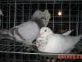 饲养肉鸽增效有技巧