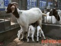 山羊秋季繁养技术