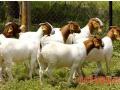 肉用羊的发情特征