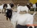 提高母羊繁殖力的途径