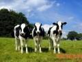 奶牛要高产 秋管抓四点