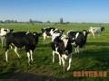 喂啥可提高奶牛产奶量