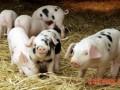 10种疾病可致猪猝死