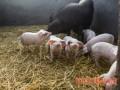 猪传染病预防十法
