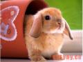 荷兰垂耳兔介绍