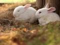 兔皮肤和腺体介绍