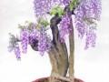盆栽紫藤花繁色艳的窍门
