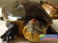 巨型麝香龟的生活习性