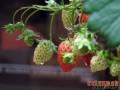 盆栽草莓施肥方法