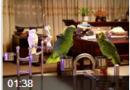 """""""修炼成精""""的鹦鹉高唱""""纤夫的爱"""" (8播放)"""
