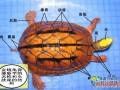 金钱龟结构图(三线闭壳龟)