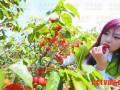 青岛峪樱桃山会开幕 6000余亩樱桃开门纳客