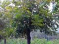 胸径2-20公分美国山核桃树图片 (4)