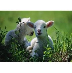 2014最新科学养羊技术大全光盘