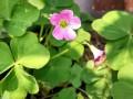 红花酢浆草花期有多长