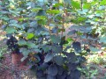 欧洲榛子苗图片 (4)