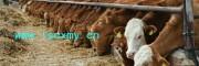 供山东基础母牛养殖场母牛价格母牛供求信息