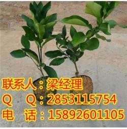 开阳红心蜜柚的果实形状,开阳柚子苗的栽种
