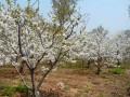 地径6-20公分大樱桃树图片 (5)