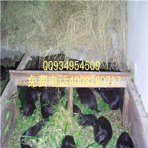 中华黑豚鼠的科学养殖