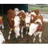 山西牧业低价出售优质肉牛