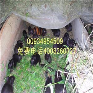 黑豚鼠的繁殖技术黑豚鼠养殖场