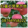 供应批发红富士苹果多少钱一斤,山东红富士苹果产地最新价格